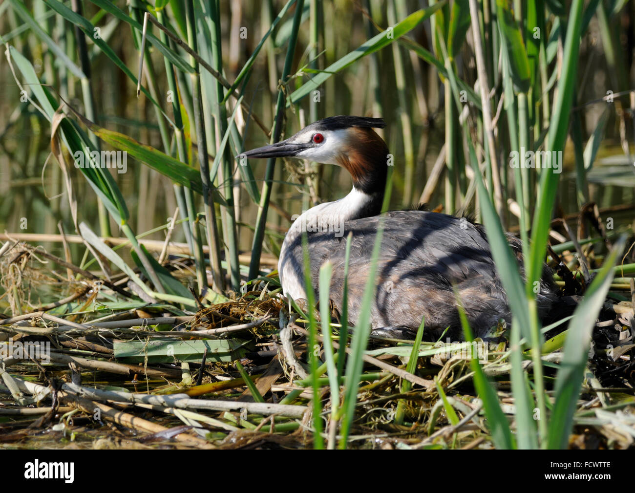 Great Crested Grebe ( Podiceps cristatus ) Incubating eggs - Stock Image