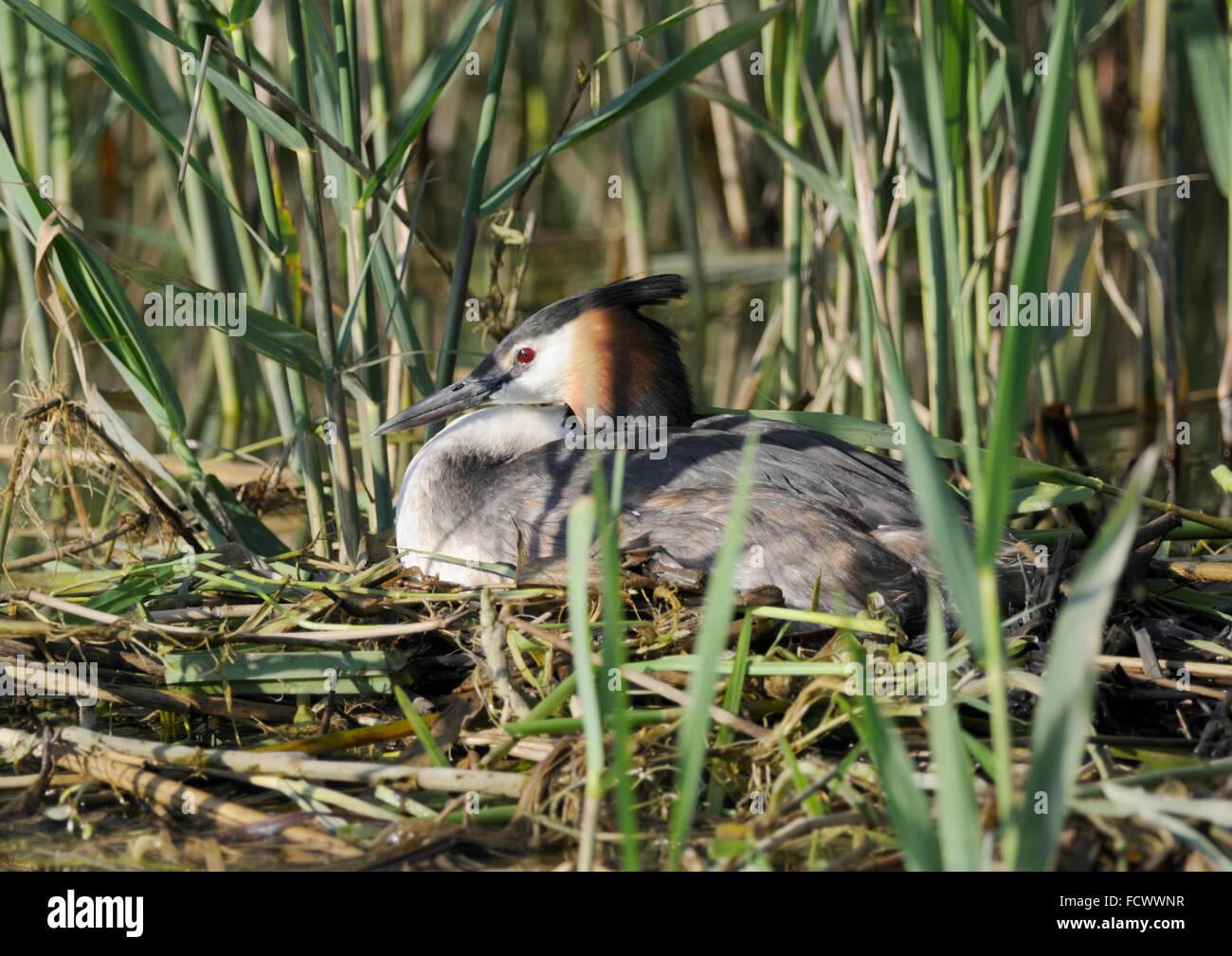 Great Crested Grebe ( Podiceps cristatus ) Incubating eggs - Stock Image