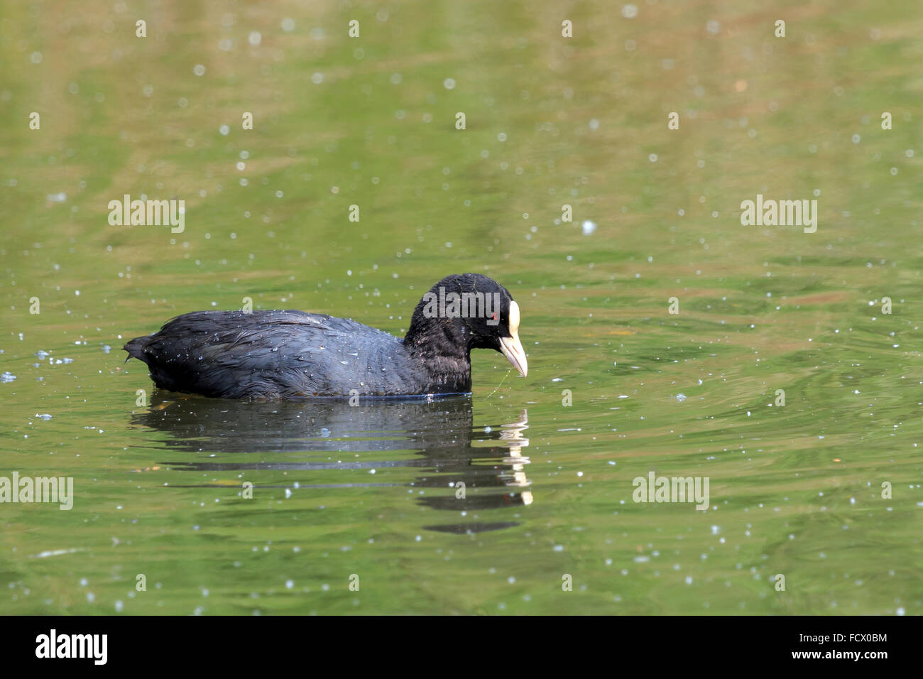Sunlit Coot reflected in the water in the UK - Stock Image