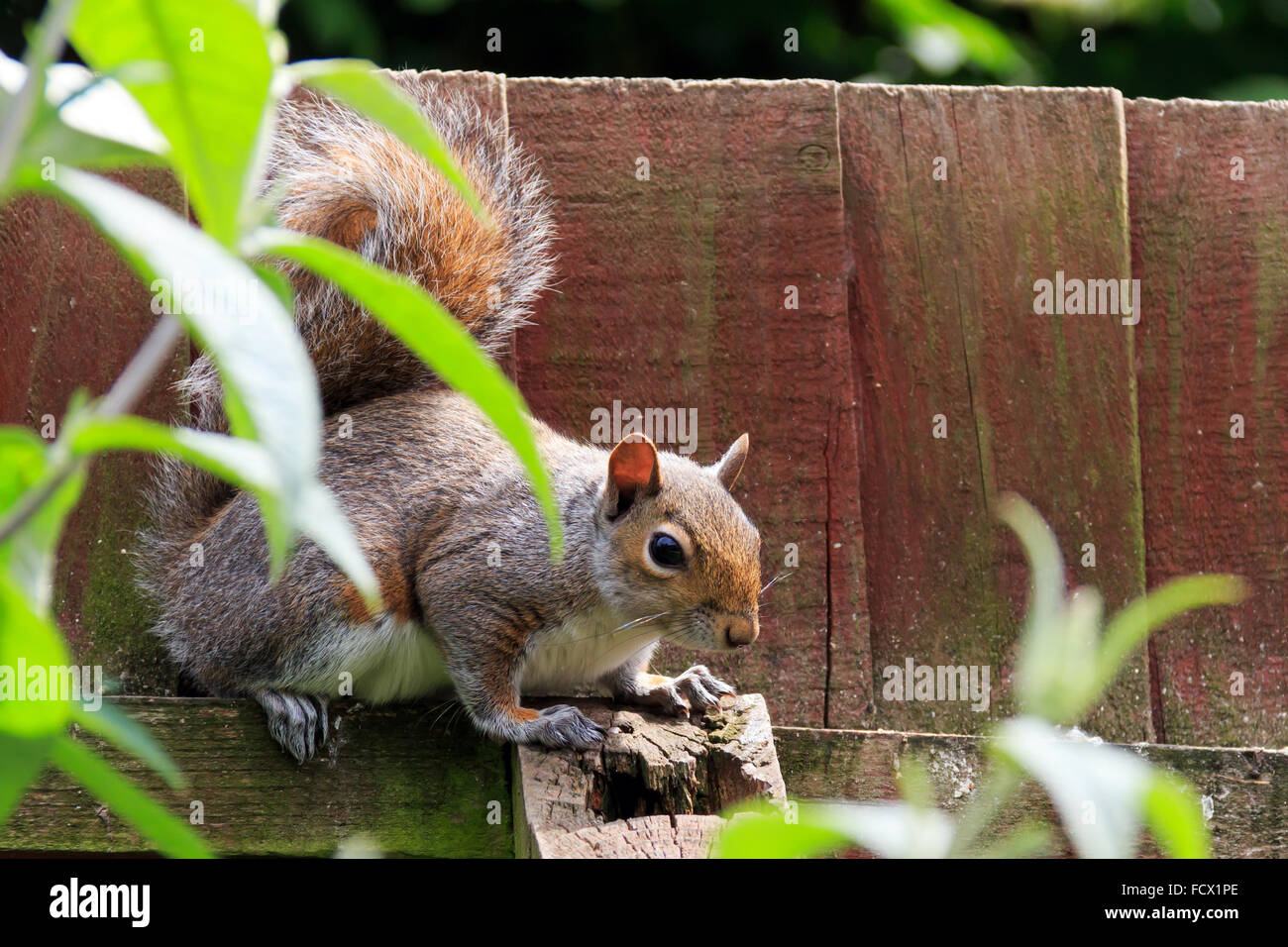 Grey Squirrel sat and partially hidden by leaves in the UK - Stock Image