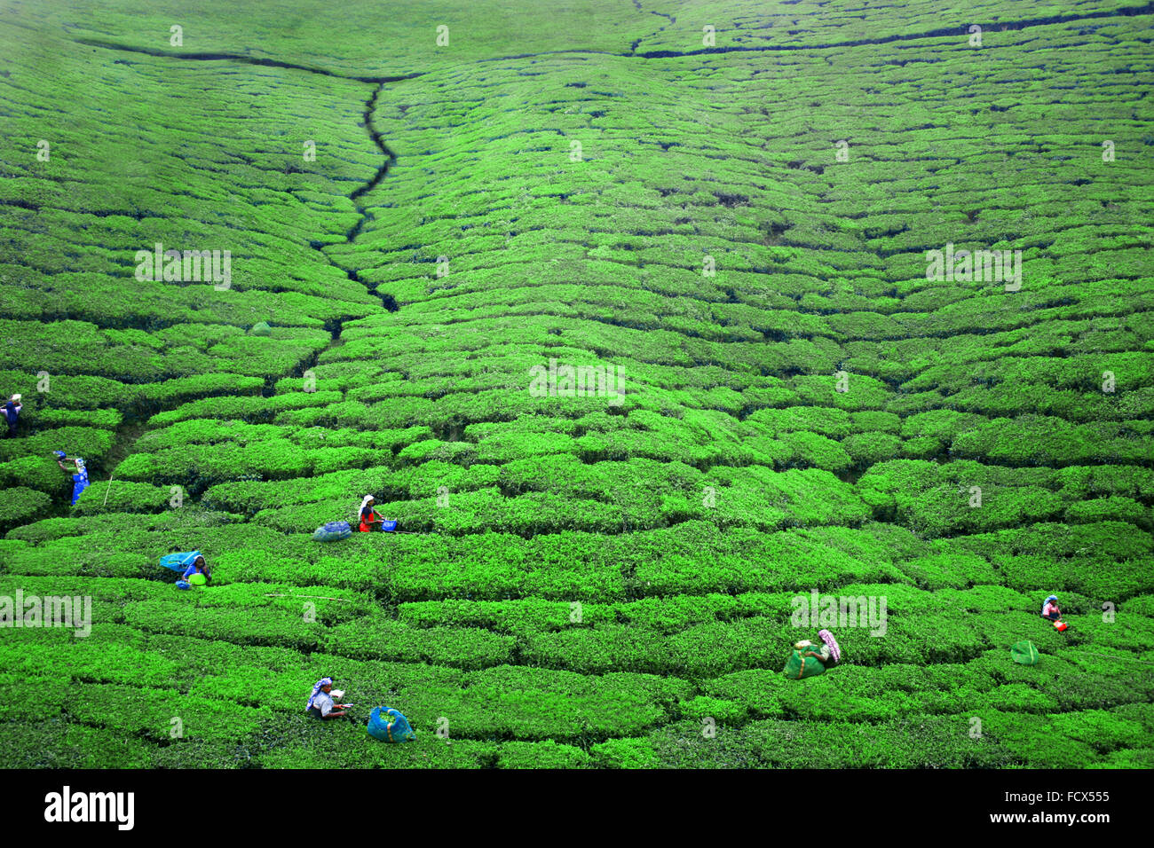 Work in the tea Plantations in Ella, Sri Lanka - Stock Image