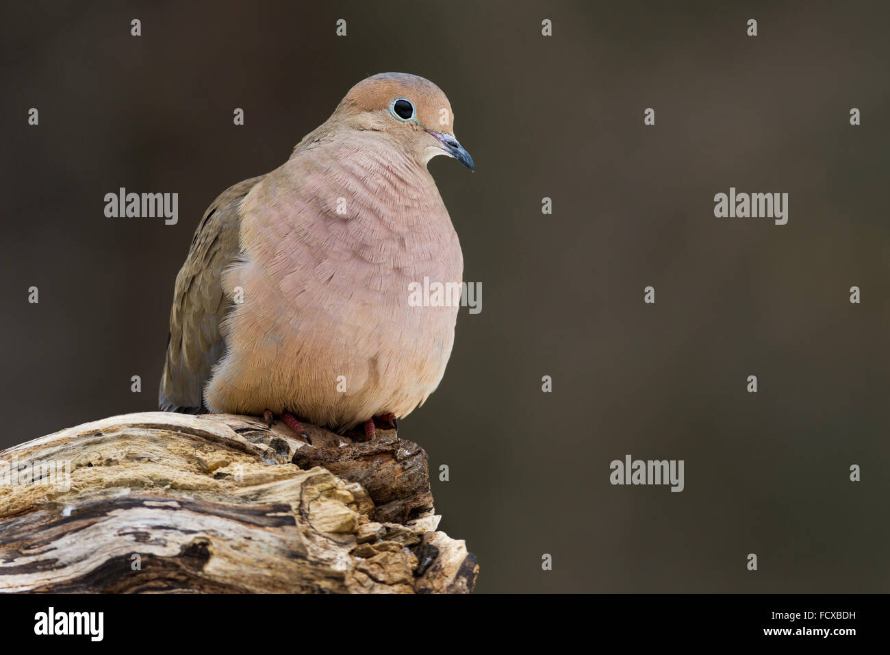 A mourning dove perched on a log - Stock Image