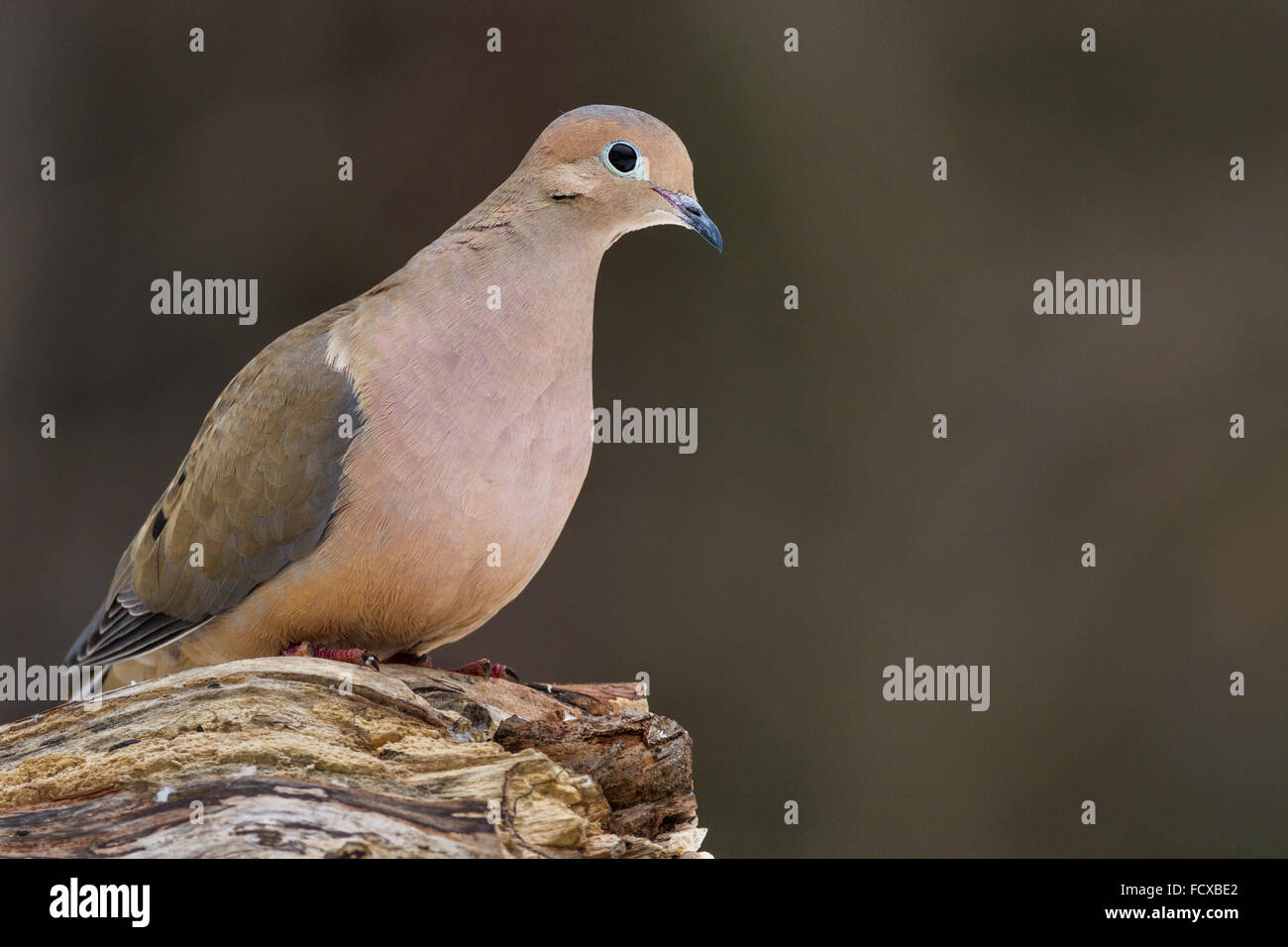 A mourning dove perched on a log. - Stock Image