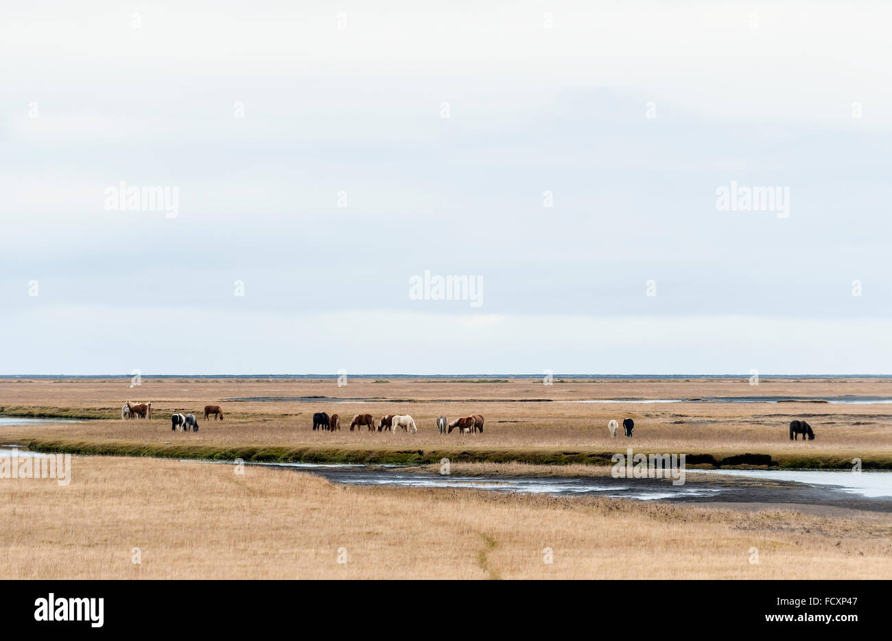 Horses in wide open landscape, Iceland - Stock Image