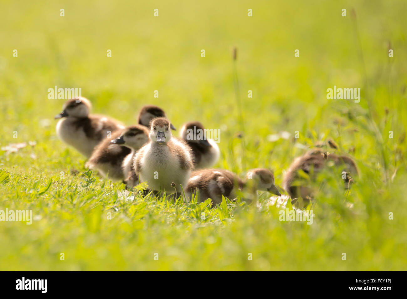Group of Egyptian goose (Alopochen aegyptiacus) chicks exploring the world and walking a meadow with white flowers - Stock Image