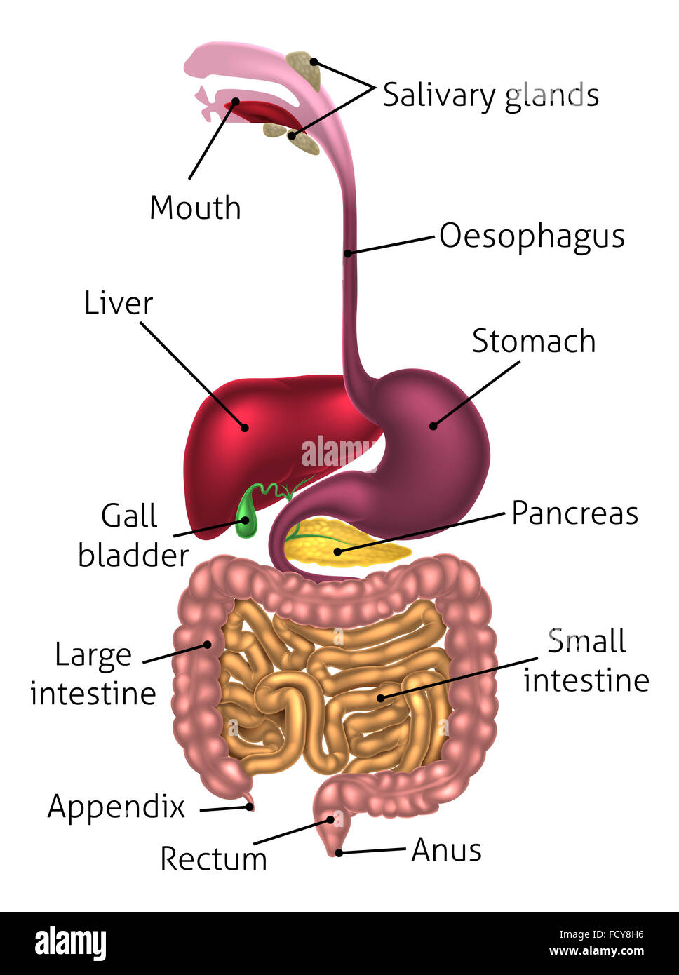 Human digestive system, digestive tract or alimentary canal ...
