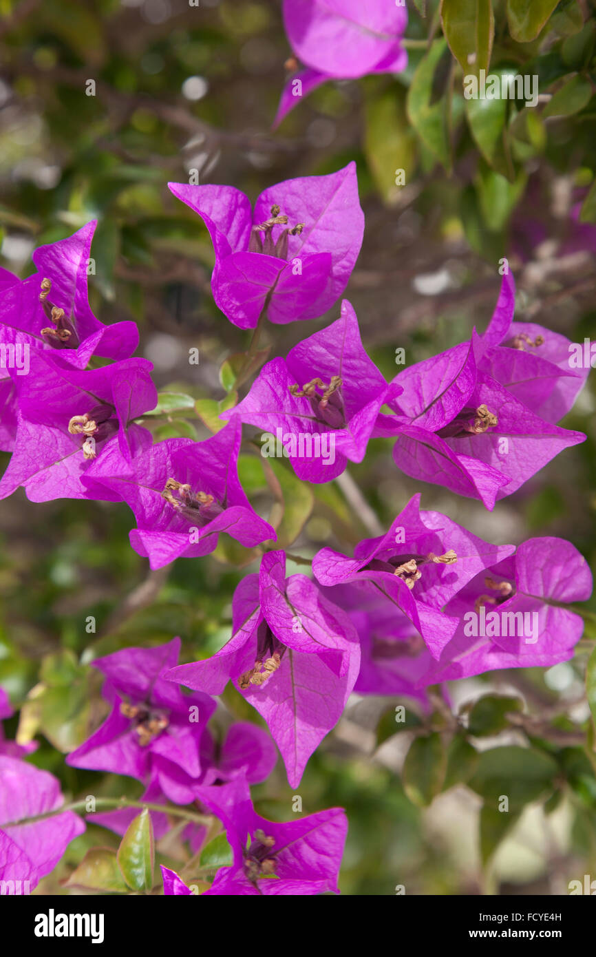 Purple Bougainvillea in the garden - Stock Image