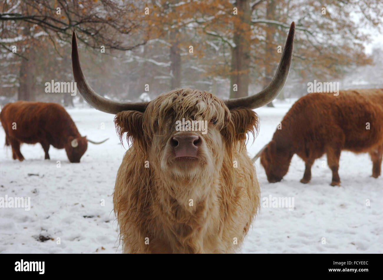Highland Cow in Scotland - Stock Image
