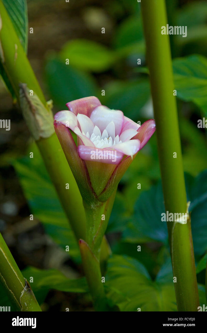 Fresh blooming pink rose of siam flower outdoors - Stock Image