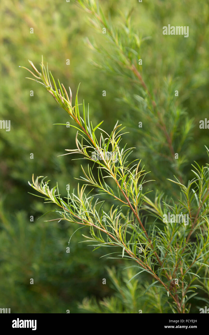 Green sprig of a Tea tree plant - Stock Image