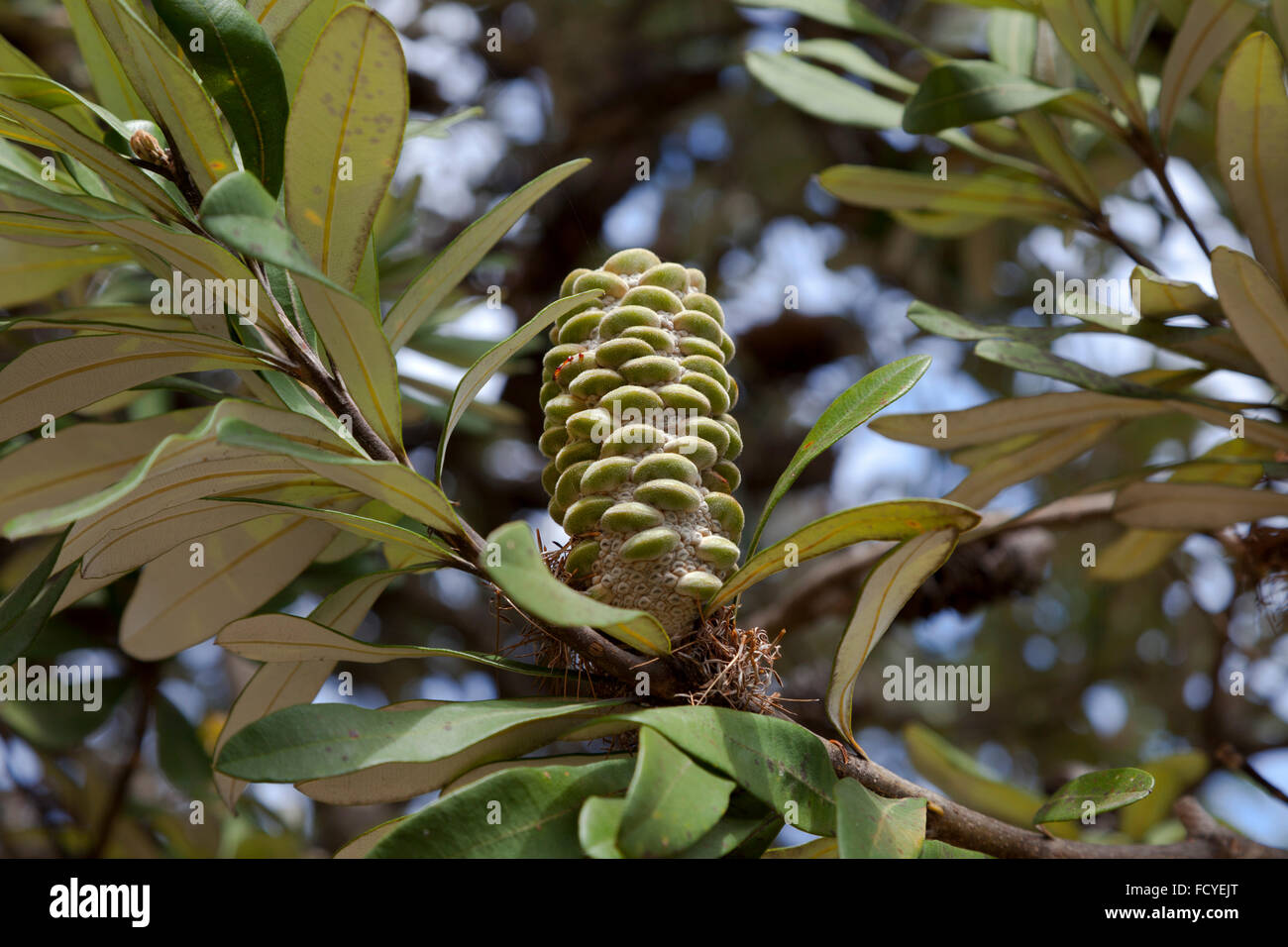 Banksia cone on a tree in New South Wales, Australia - Stock Image