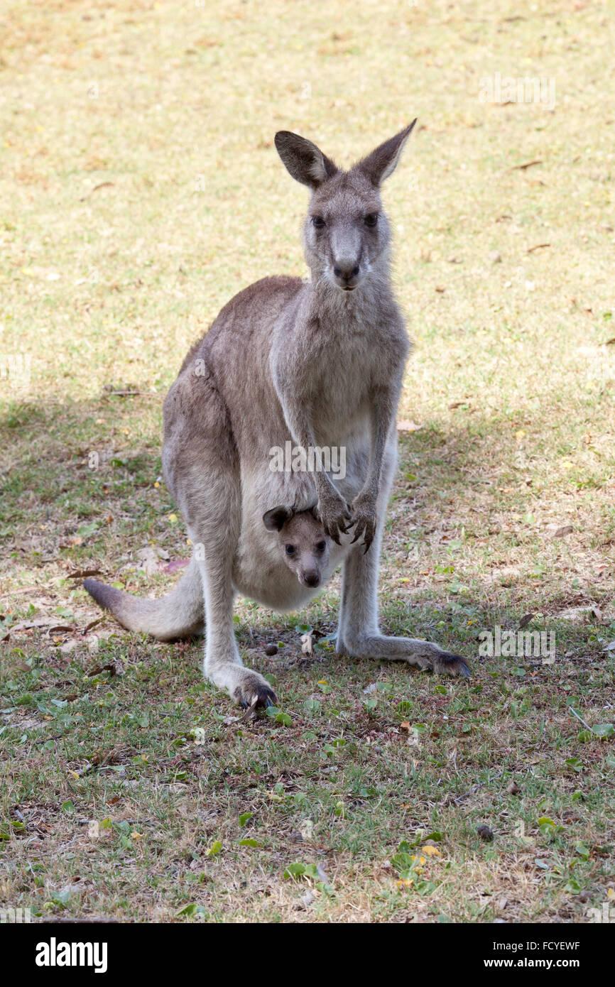 Red Kangaroo mother and joey in Australia in NSW, Australia - Stock Image