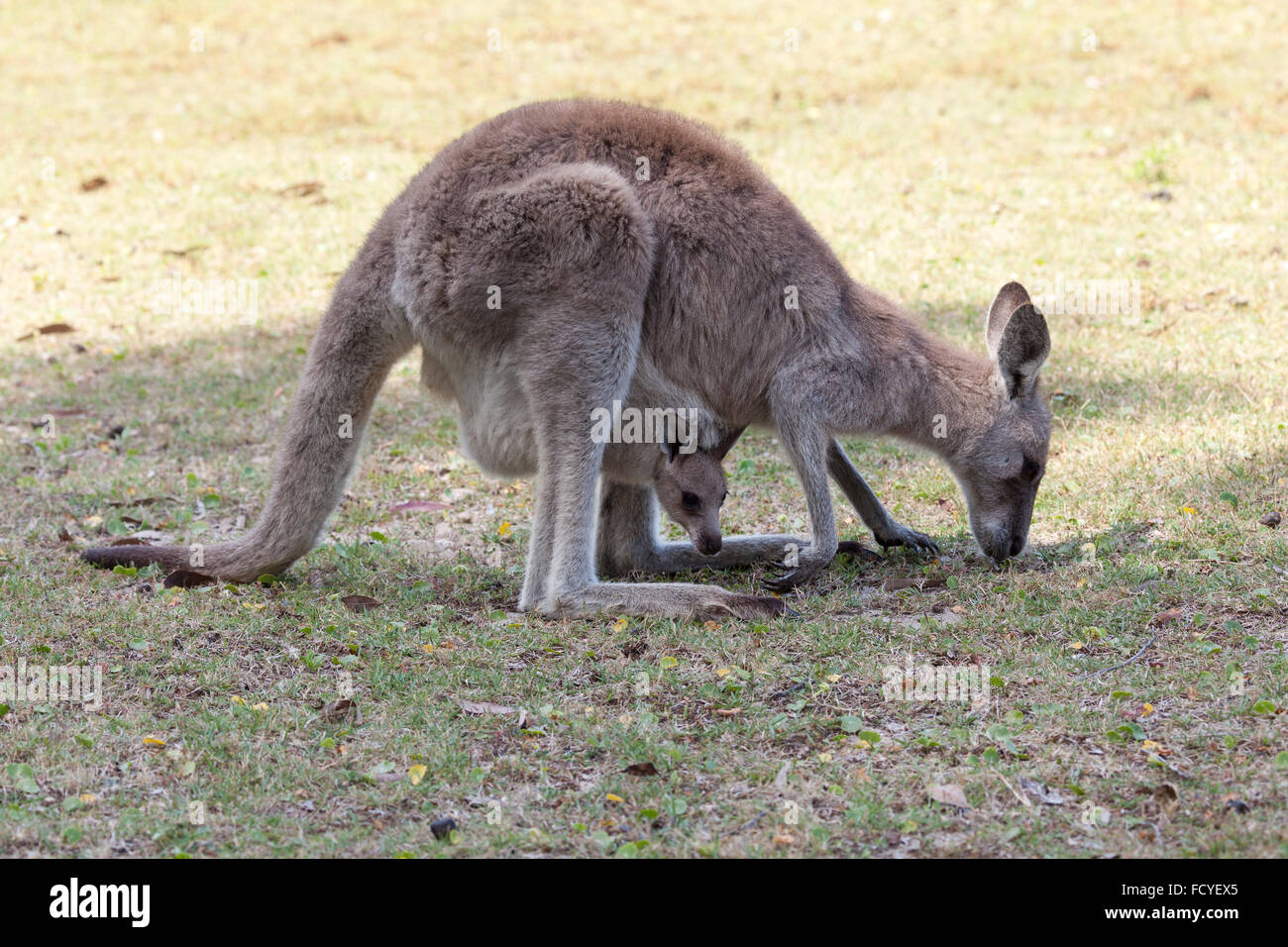 Red Kangaroo mother and joey eating together in Australia in Queensland, Australia - Stock Image