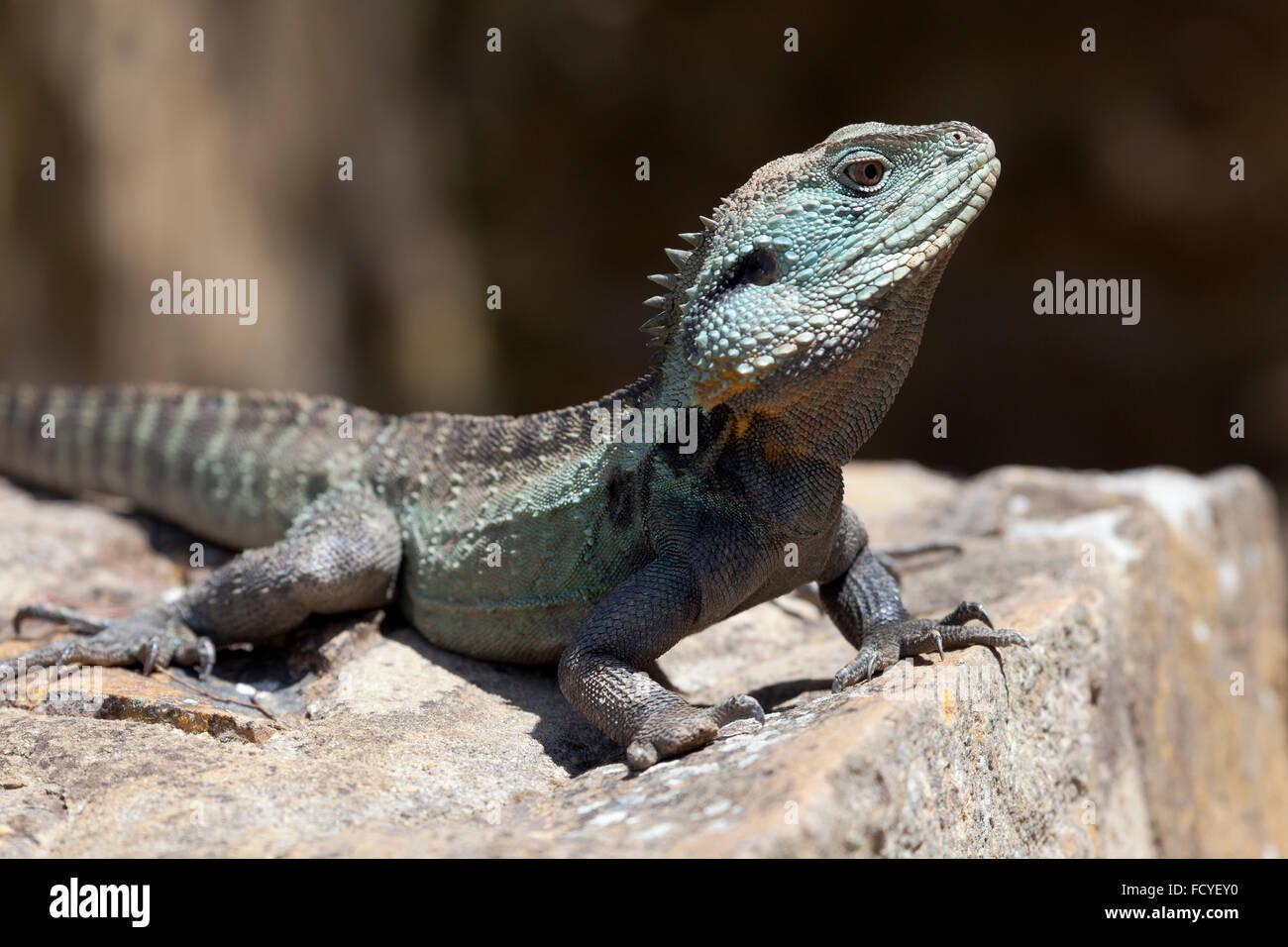 Eastern Water Dragon, Queensland, Australia - Stock Image