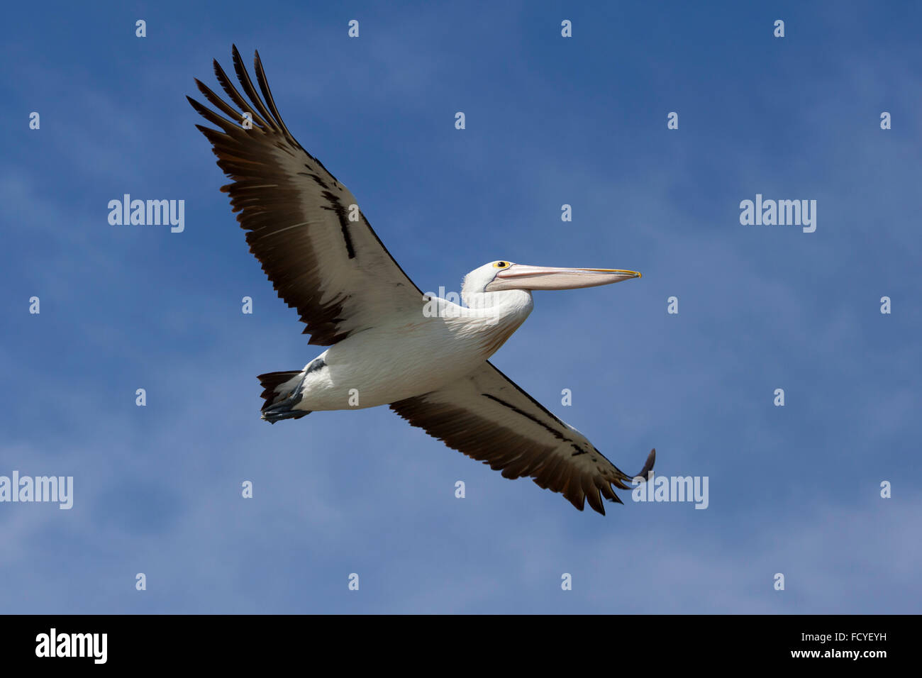 Flying pelican in the blue sky, victoria, Australia - Stock Image