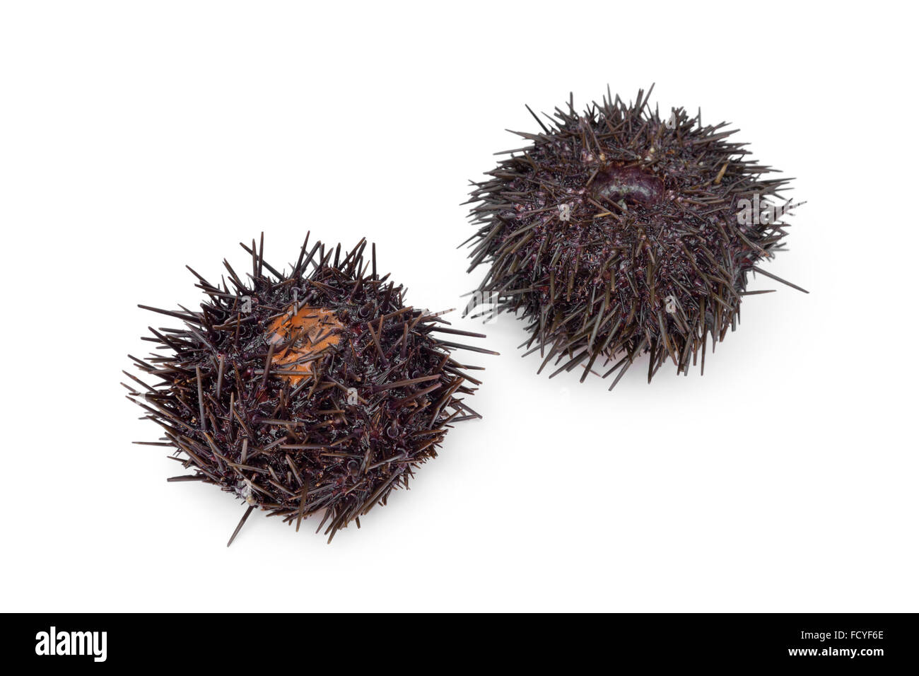 Urchins Cut Out Stock Images & Pictures - Alamy