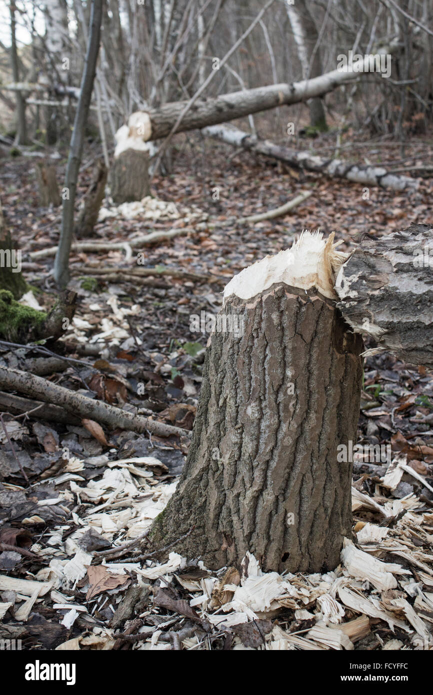 Beaver Damaged tree - Stock Image