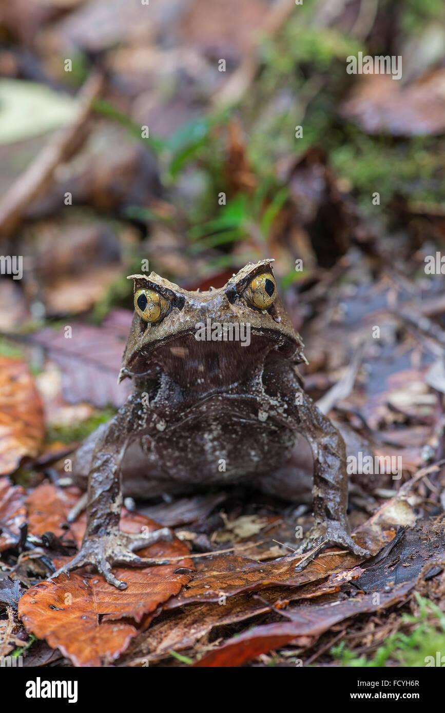 Bornean Horned Frog: Megophrys nasuta. Sabah, Borneo. - Stock Image