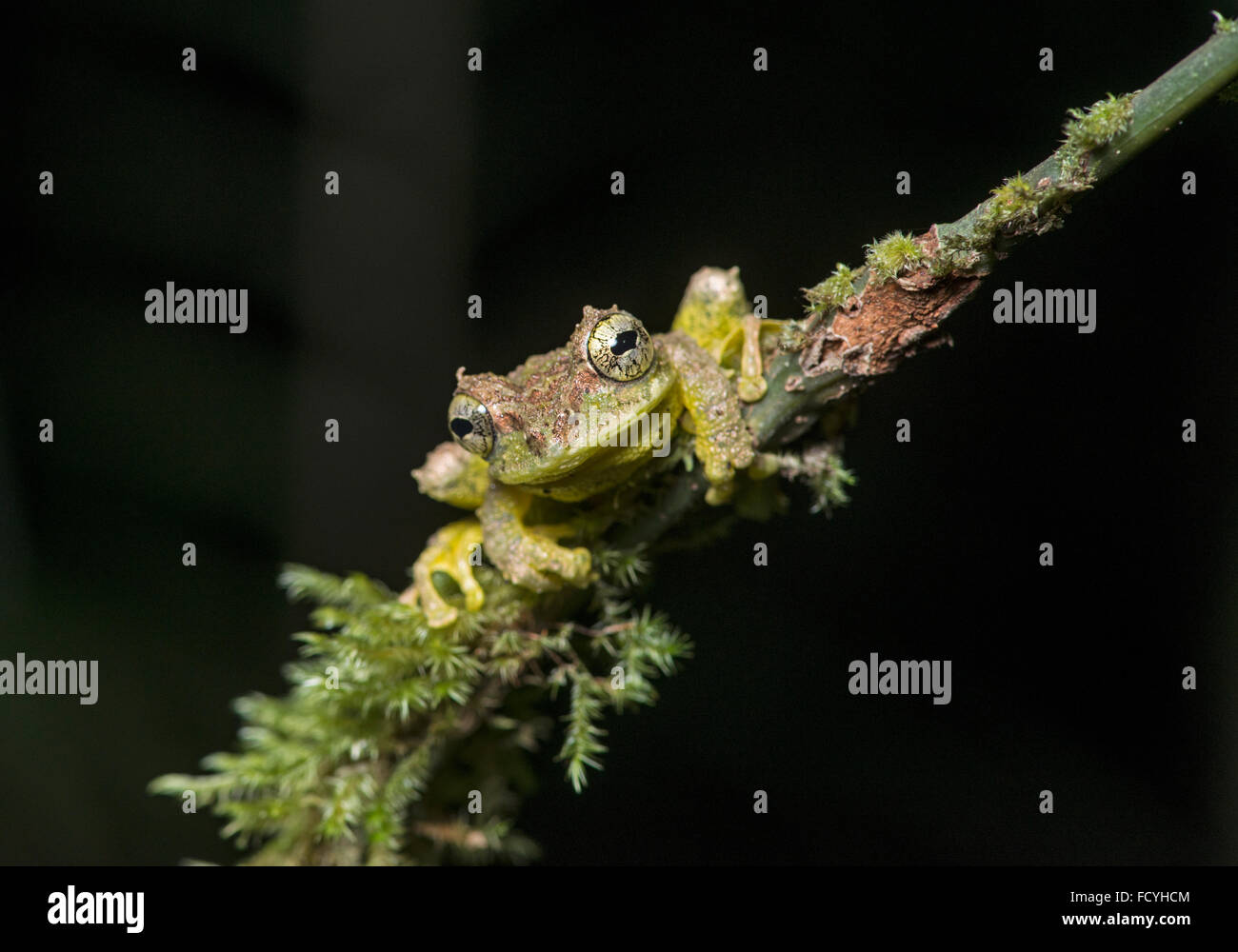 Mossy Tree Frog: Rhacophorus everetti. Sabah, Borneo. Taken at night - Stock Image