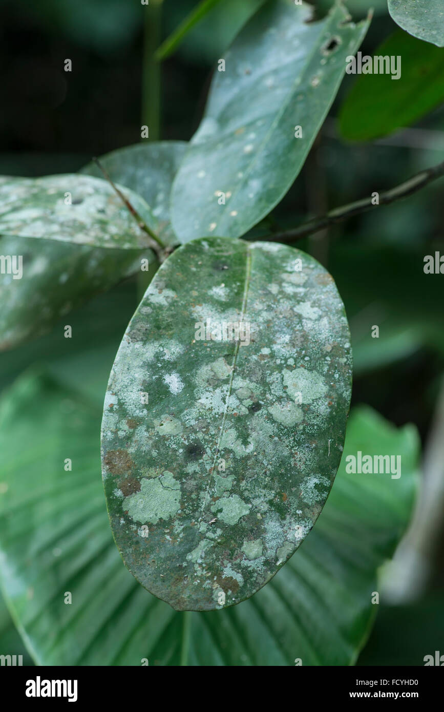 Lichens and moulds growing on leaf. Primary rainforest, Danum Valley, Sabah, Borneo - Stock Image