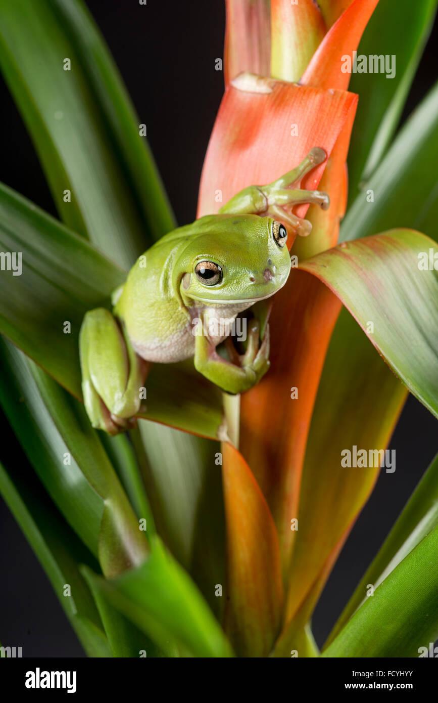 Australian Green, or  White's Tree Frog: Litoria caerulea. Controlled, Studio - Stock Image