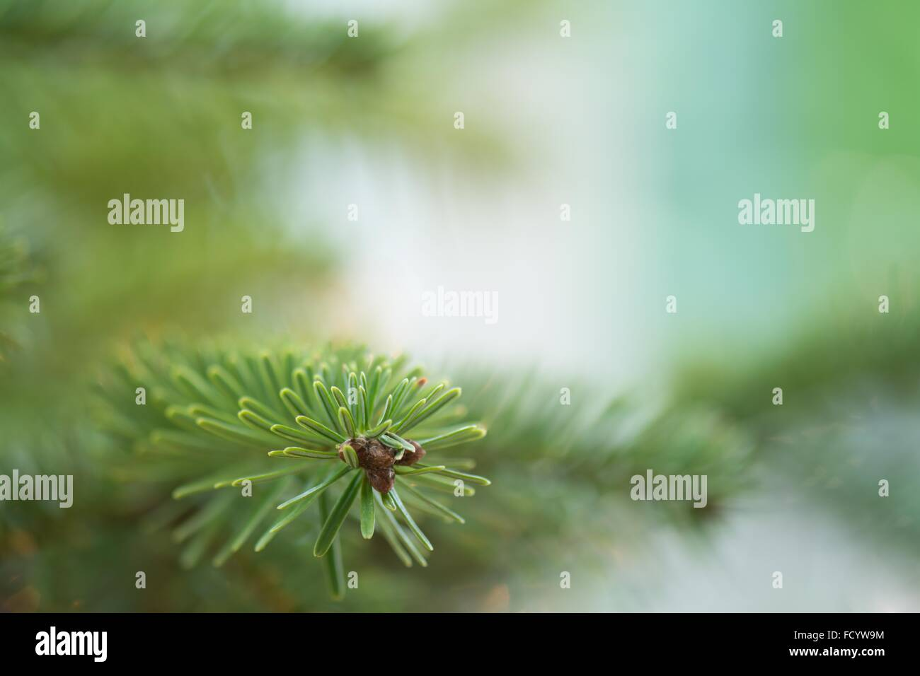 fresh green soft focus close up of pine tree with copy space - Stock Image