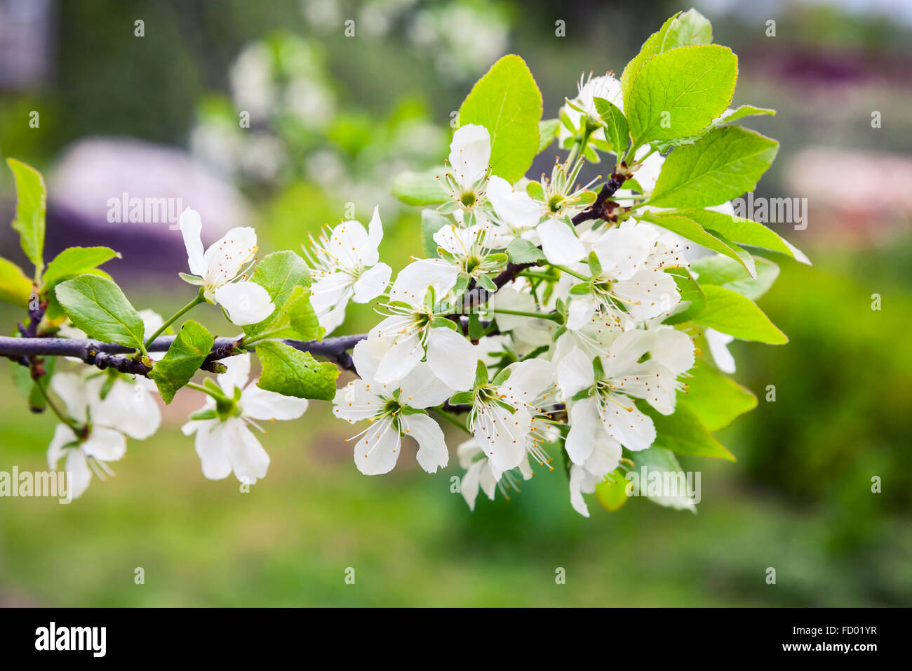 Apple Tree Branch With White Flowers In Spring Garden Closeup Photo