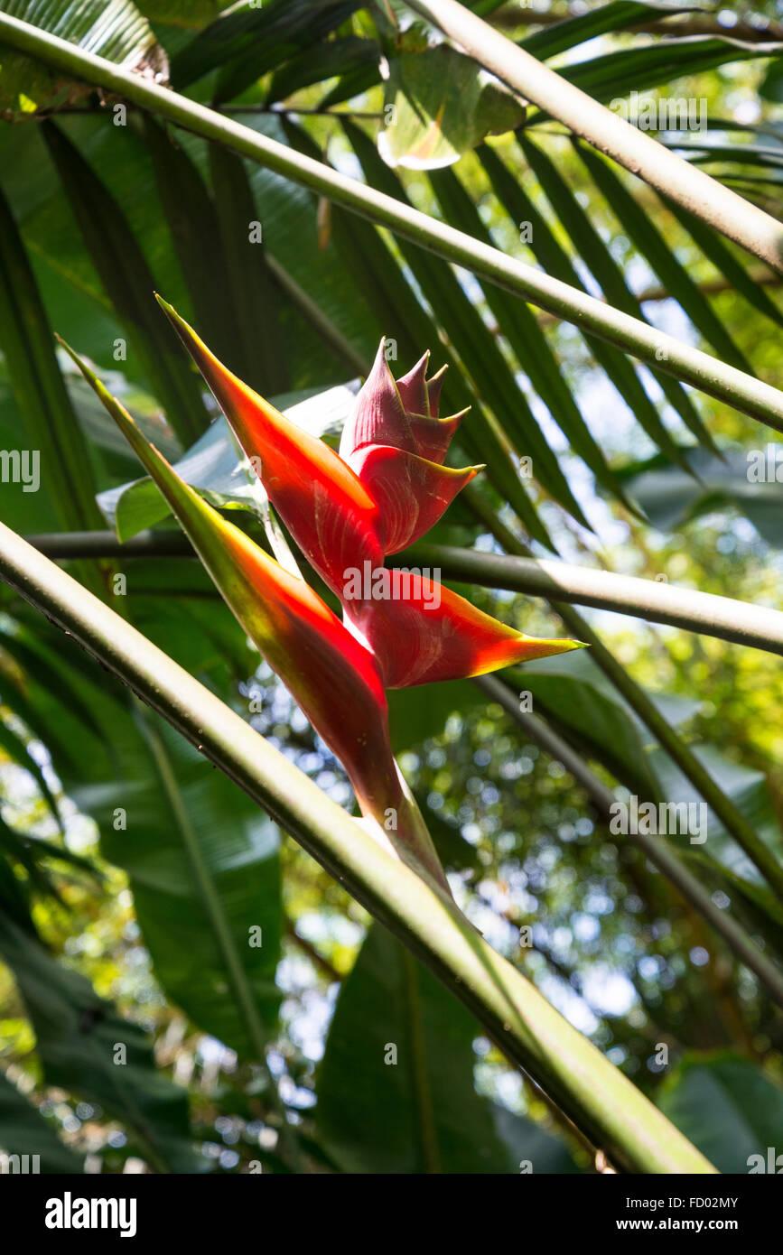 False bird-of-paradise, Inhotim botanical Garden and Contemporary art museum, Belo Horizonte, Minas Gerais, Brazil - Stock Image