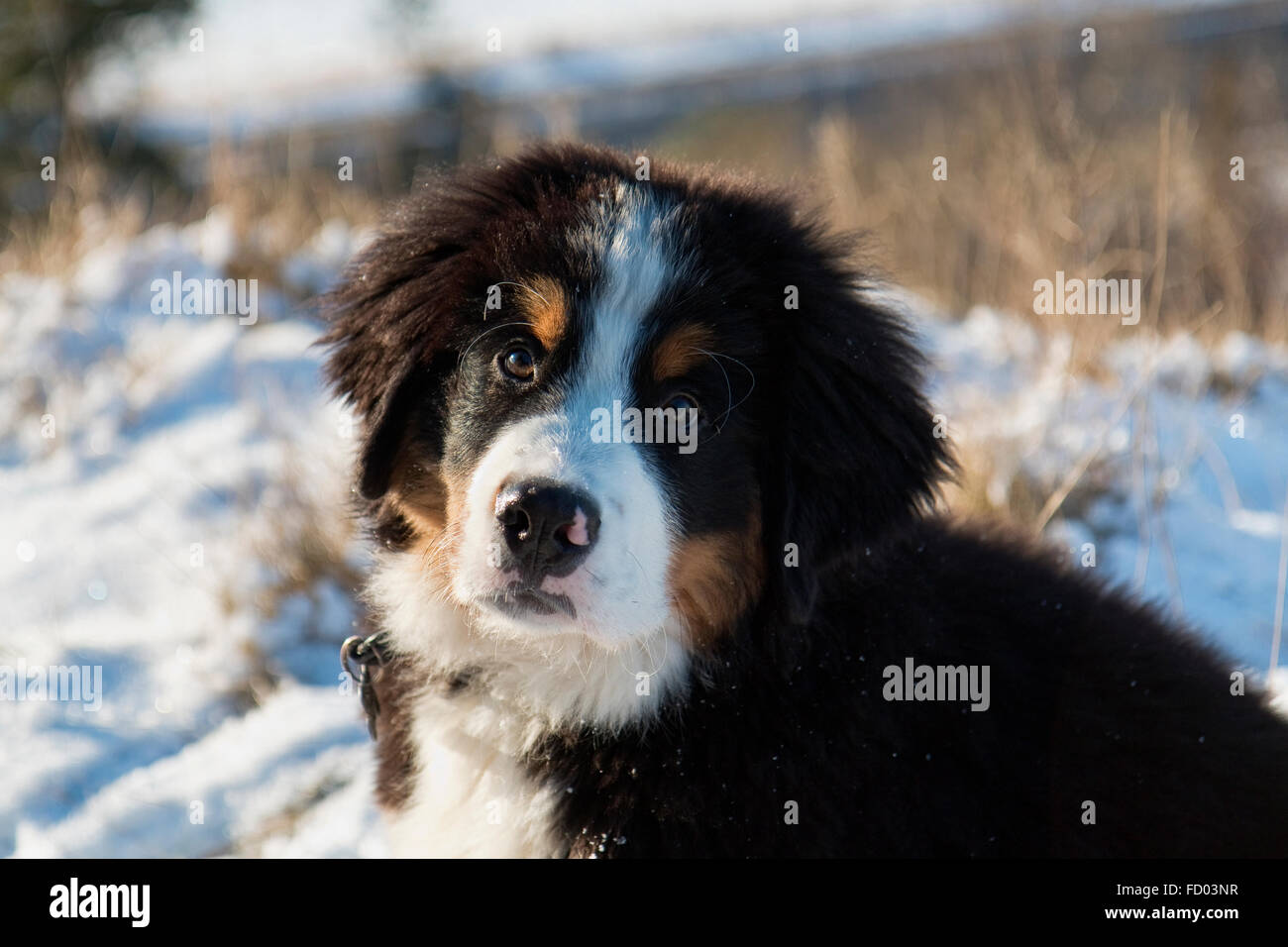 Closeup on berner sennen puppy in the snow - Stock Image