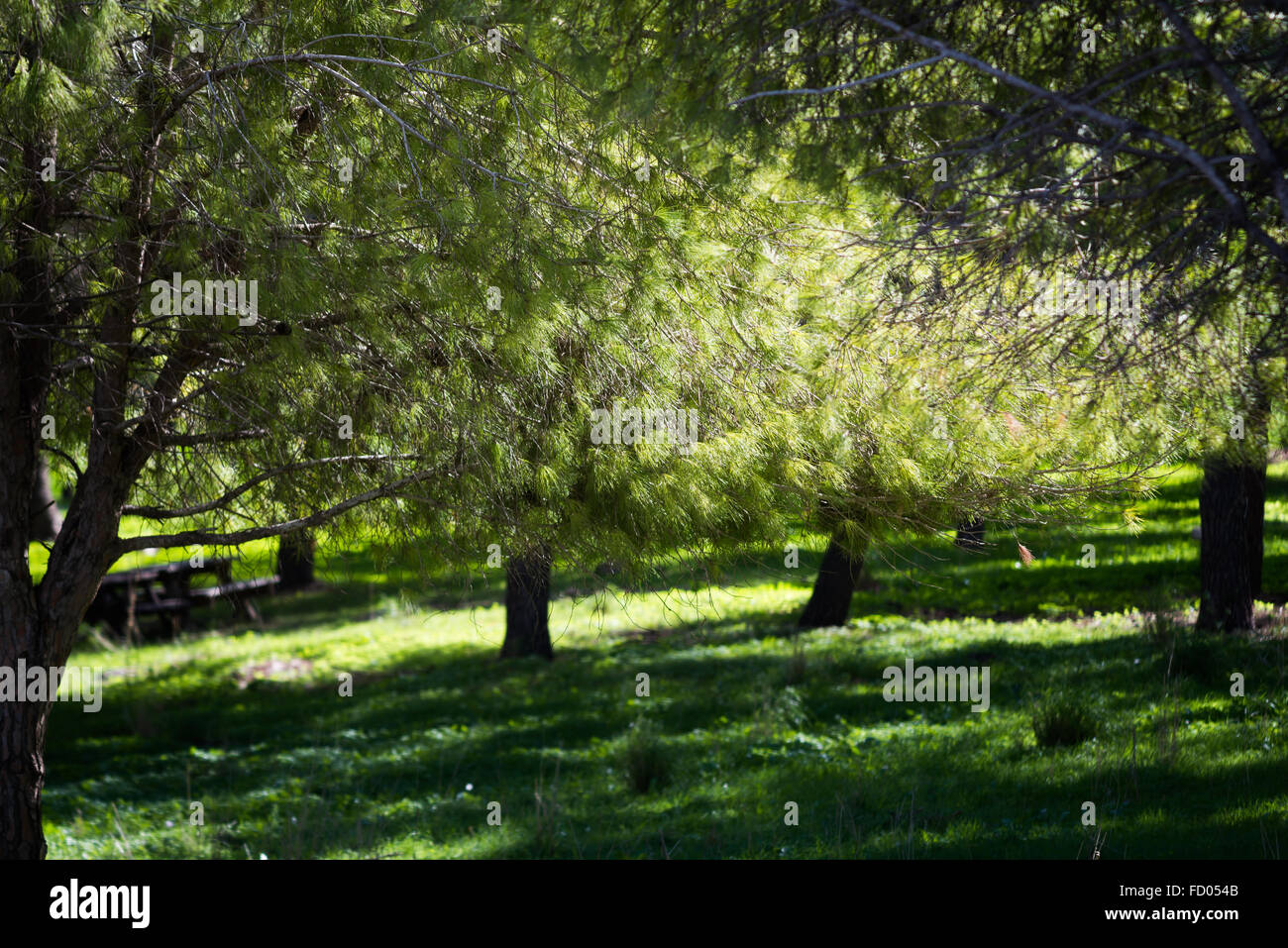 Trees at Ein Afec Reserve - Stock Image