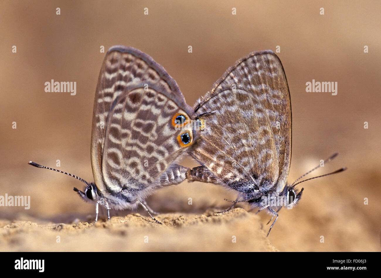 Butterfly mating on ground - Stock Image
