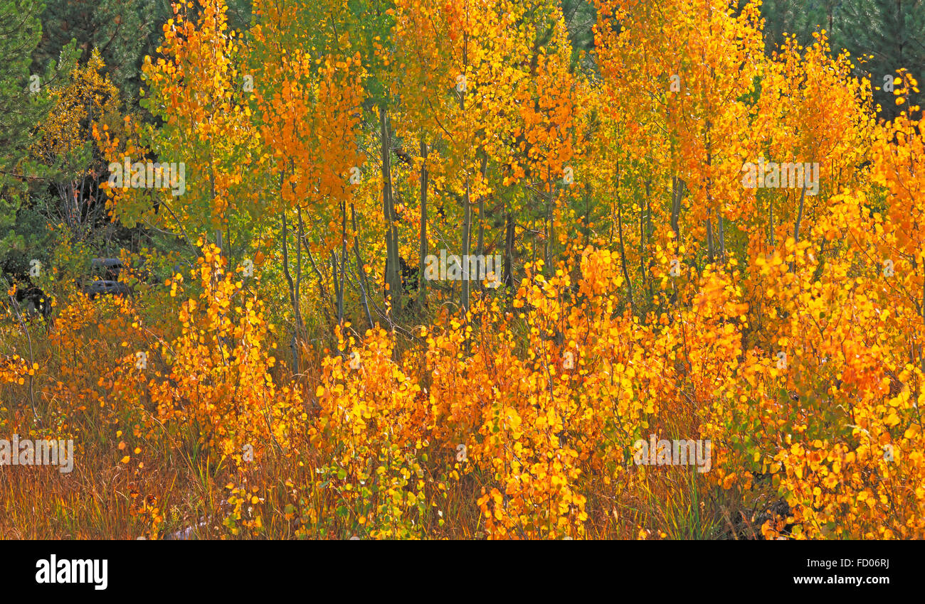 Aspen trees in Oregon turning gold in October - Stock Image