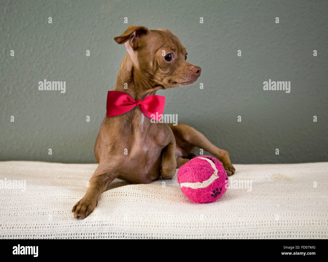 A small, Mexican hairless Chihuahua with a red tennis ball - Stock Image