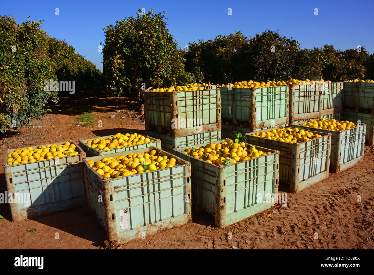 Grapefruit containers, Fresh from the orchard - Stock Image