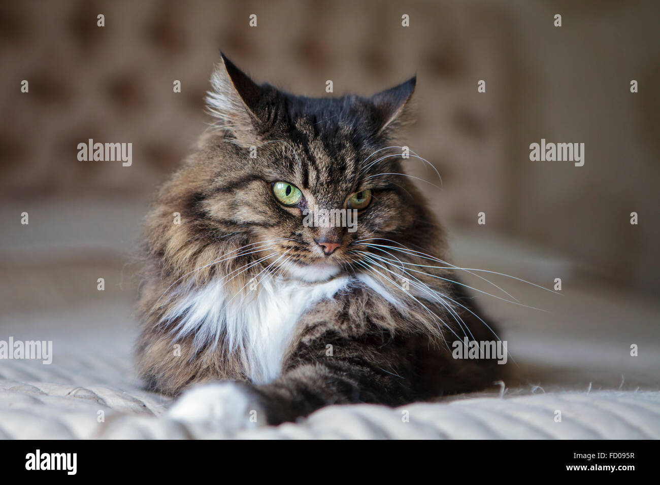 Long haired cat on the bed - Stock Image