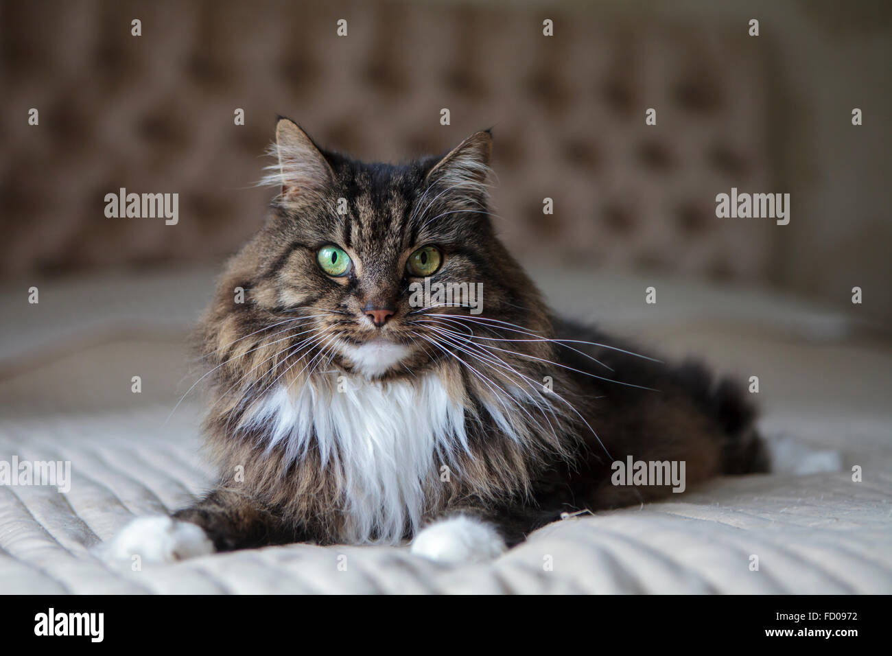 Long haired cat on the bed Stock Photo