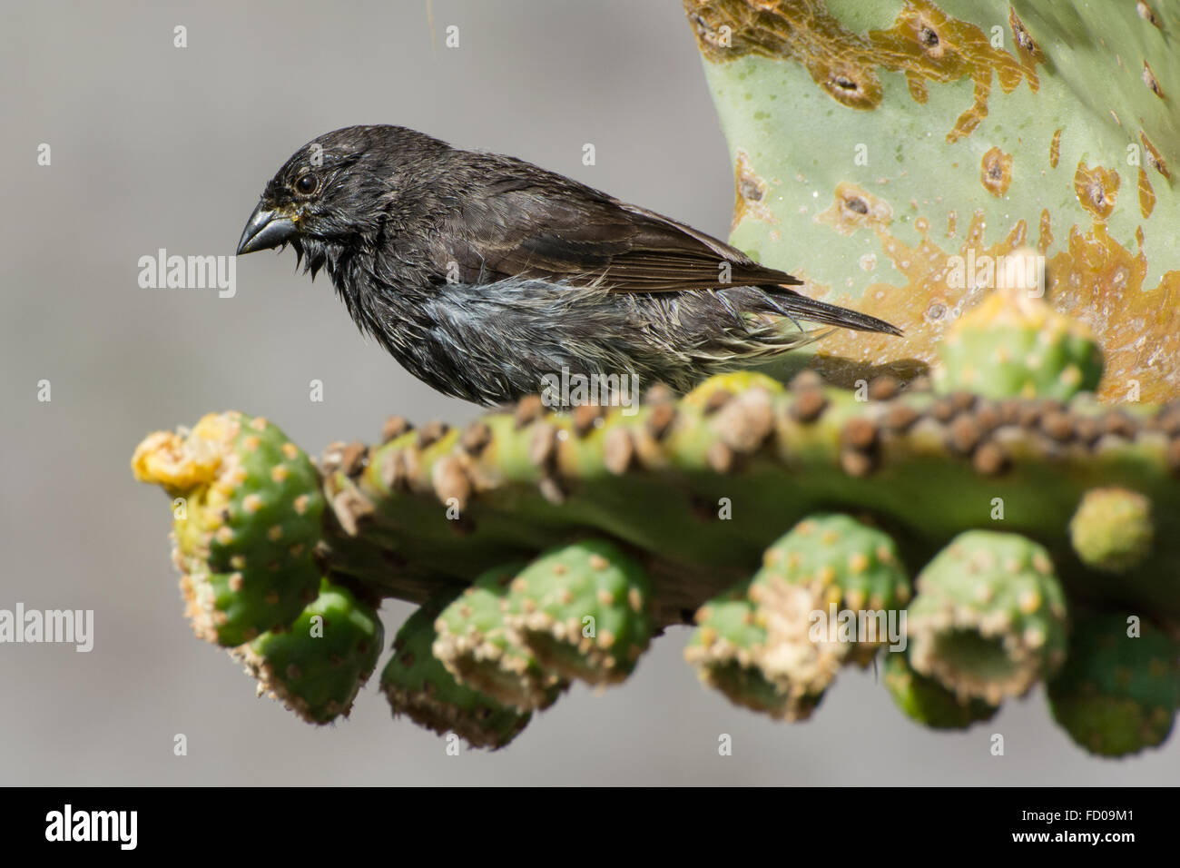 A small cactus finch, one of the Darwin's finches from the Galapagos islands briefly rests on the edge of a - Stock Image