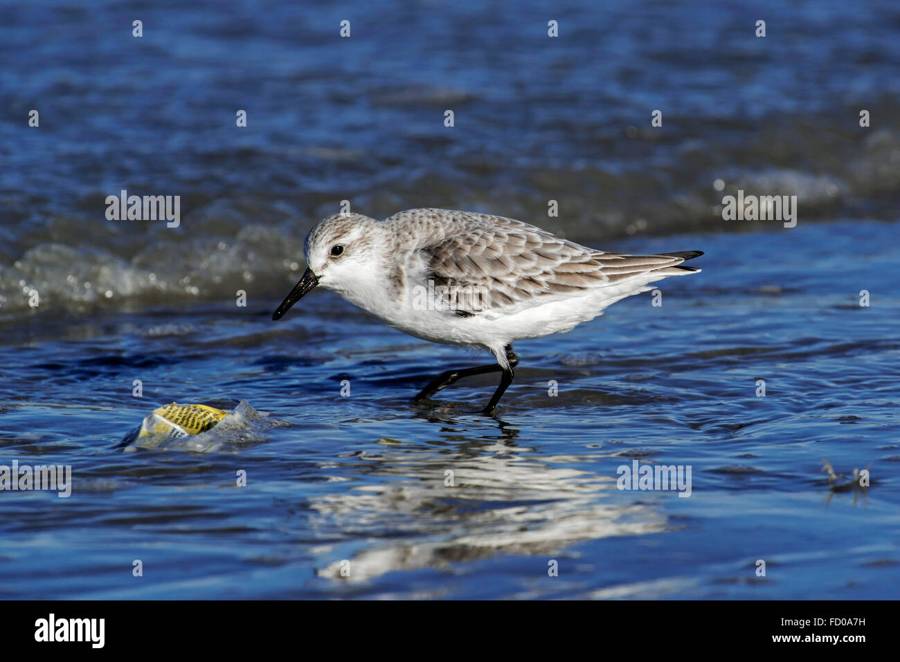 Sanderling (Calidris alba) in non-breeding plumage picking at plastic wrapping washed on beach along North Sea coast - Stock Image