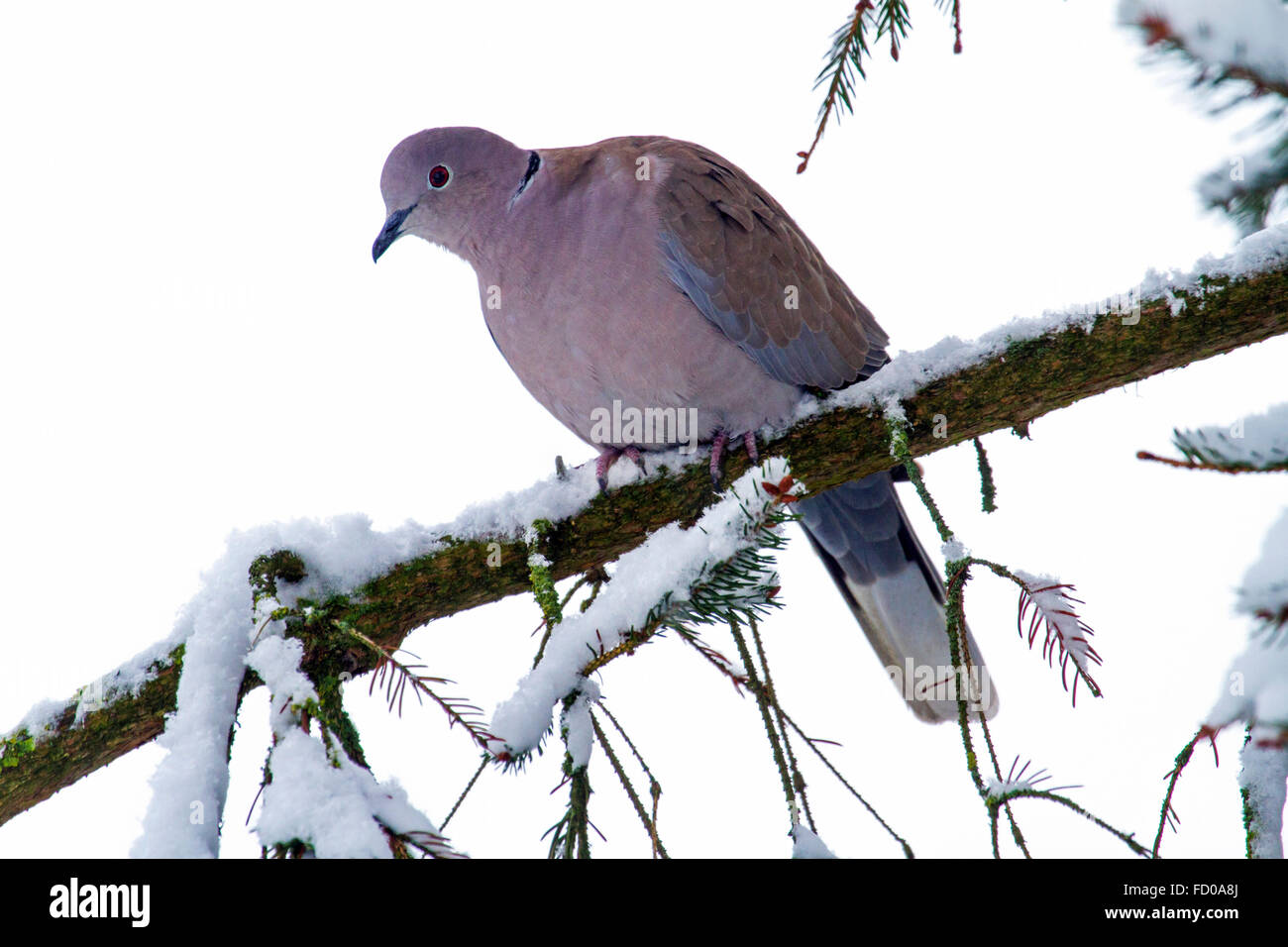 Eurasian collared dove (Streptopelia decaocto) perched in pine tree in the snow in winter - Stock Image