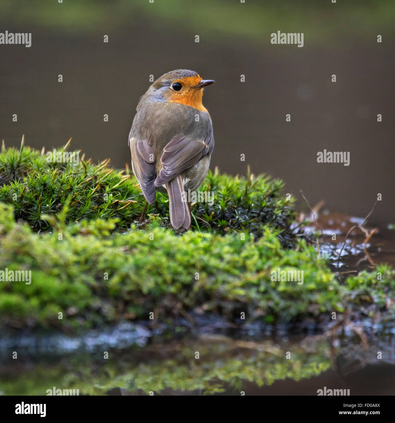 European robin (Erithacus rubecula) sitting on water's edge - Stock Image