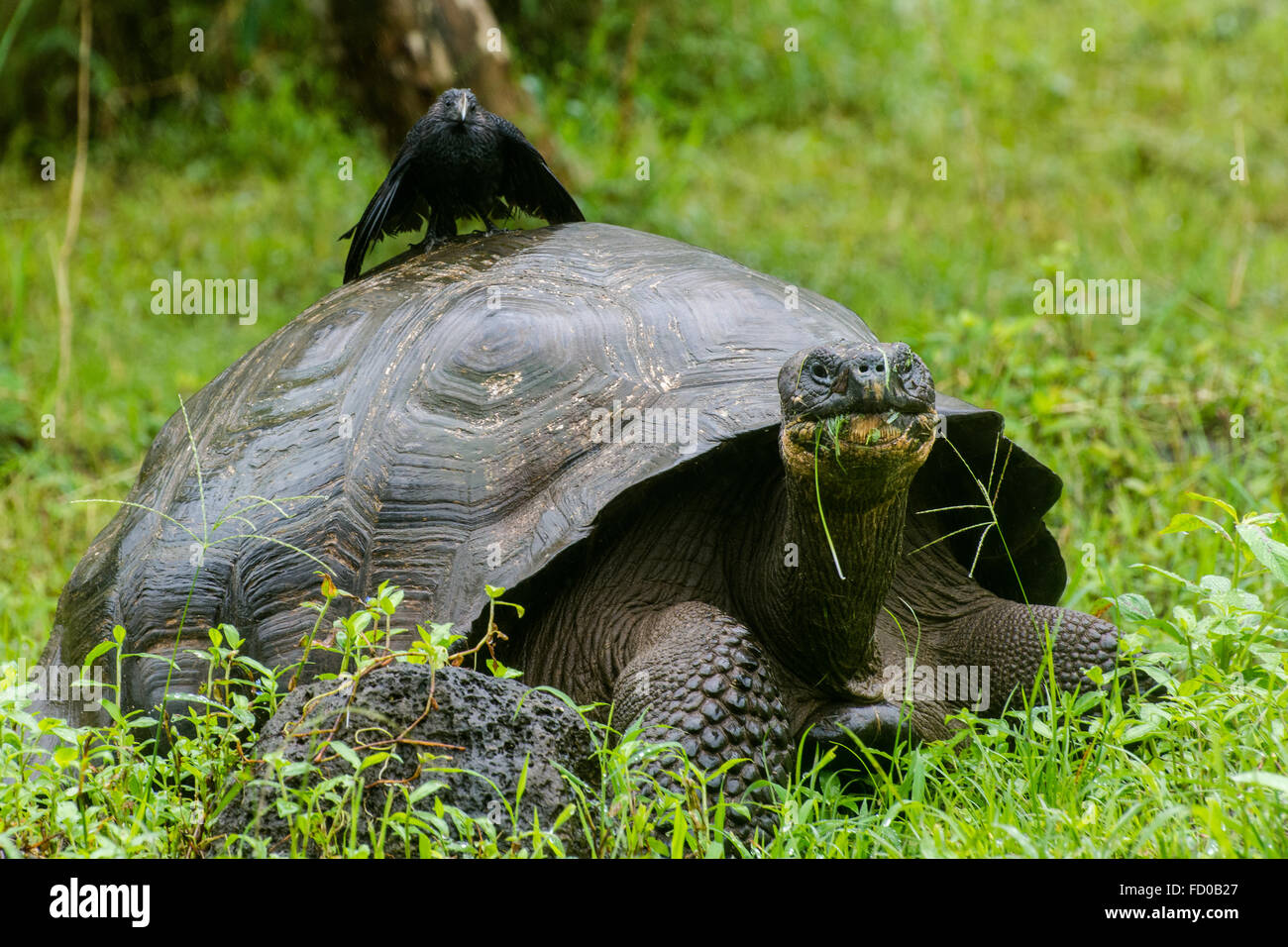A native Galapagos tortoise with a non native ani sitting on top. - Stock Image
