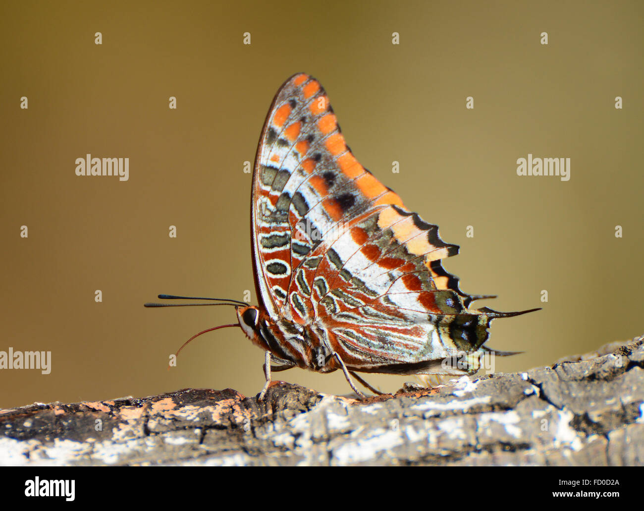 Charaxes jasius, Foxy Emperor butterfly - Stock Image