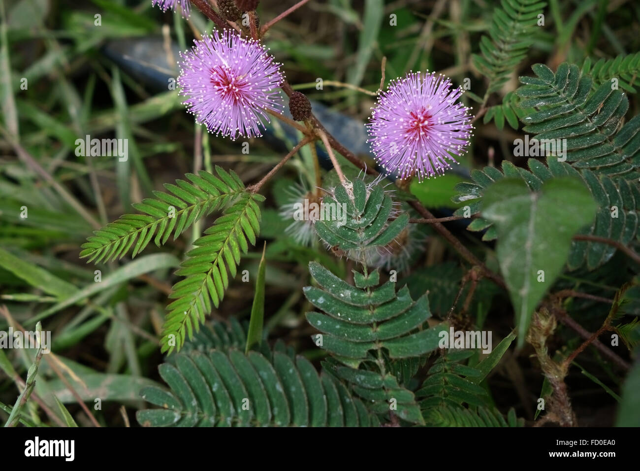 Sensitivity plant, Mimosa pudica, flowereing on waste ground in Quang Ninh Provice, north Vietnam Stock Photo