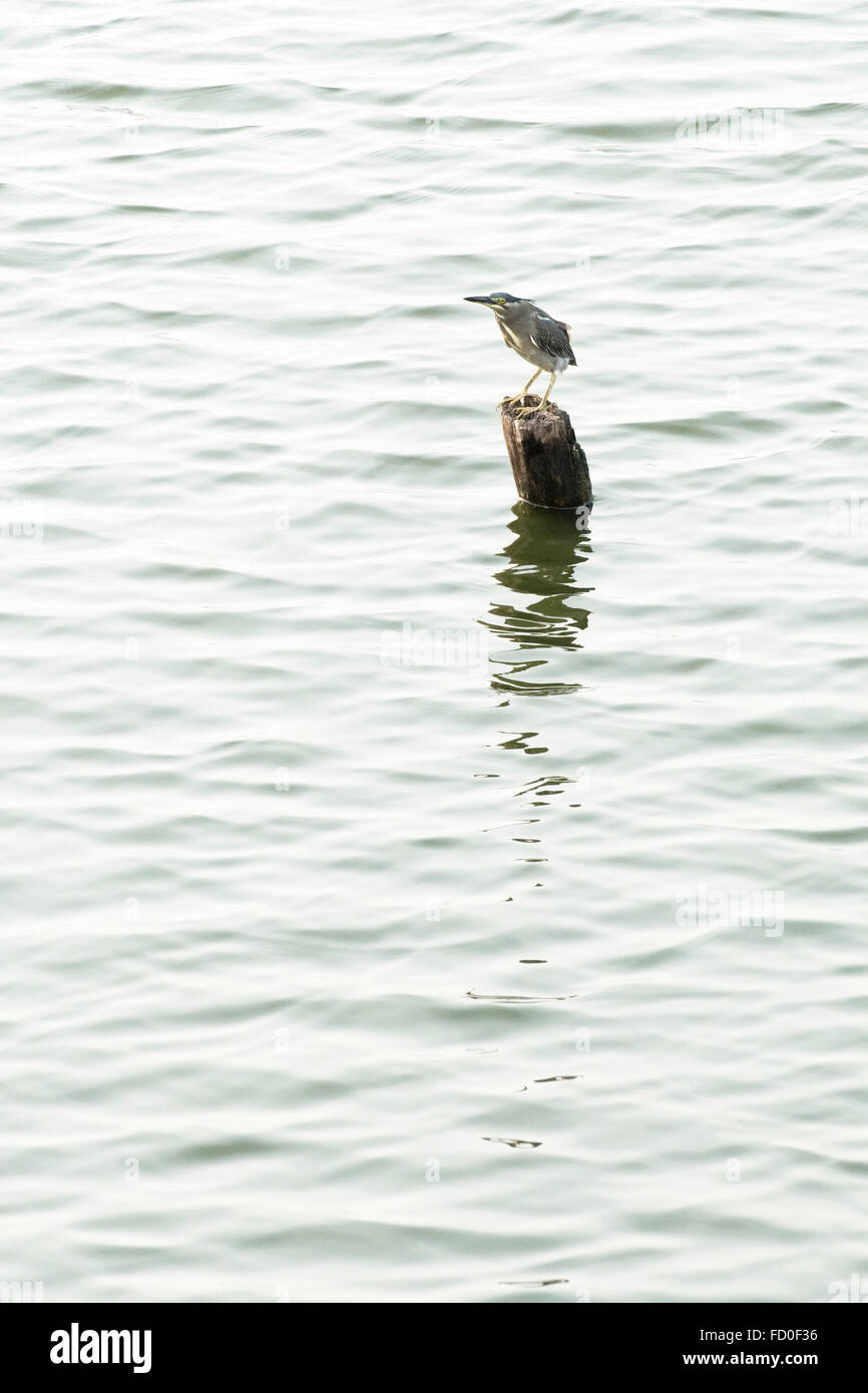 Black-crowned night heron, Nycticorax nicticorax, perched on a post fishing in West Lake, Hanoi, Vietnam, January Stock Photo