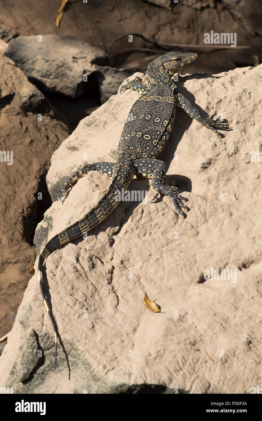 Young Asian water water monitor lizard, Varanus salvator, basking on a rock on the bank of the River Kwai in the - Stock Image