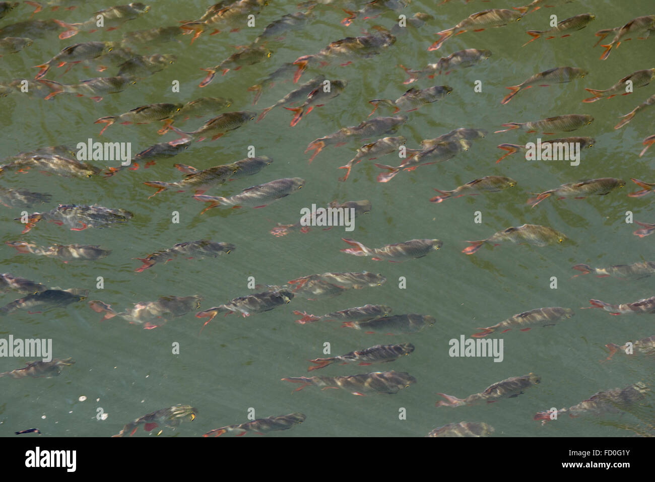 Tinfoil barbs, Barbonymus schwanenfeldii, a shoal of fish swimming in the shallow water on the River Kwai Stock Photo