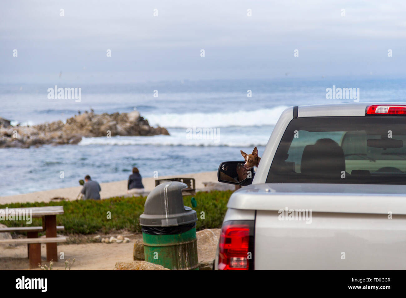 Small dog poking his head out of a car window in Monterey bay, California - Stock Image
