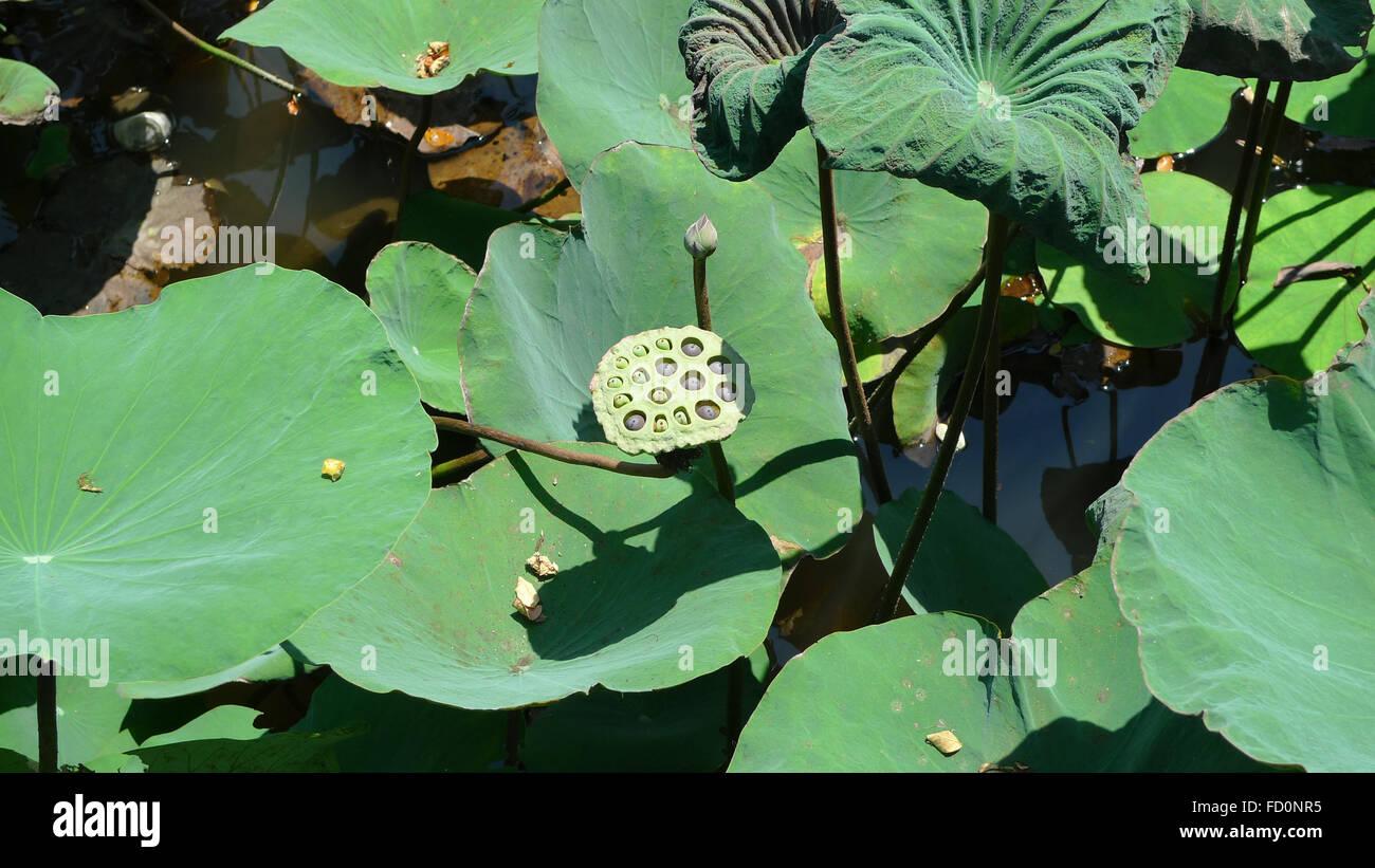 Lotus Seed Pod Stock Photos Lotus Seed Pod Stock Images Alamy