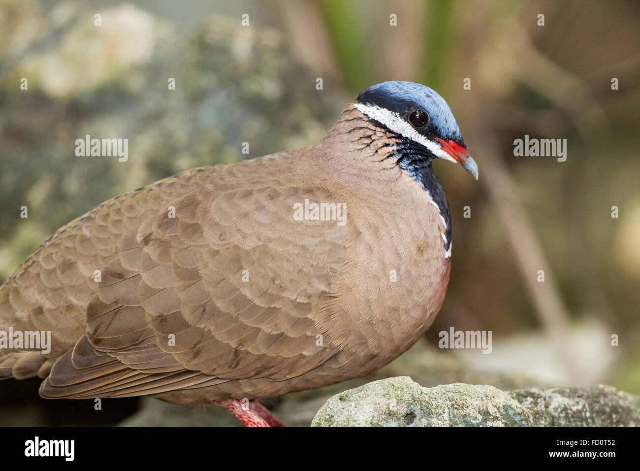 blue-headed quail-dove (Starnoenas cyanocephala) adult walking on ground, among rocks, Cuba Stock Photo