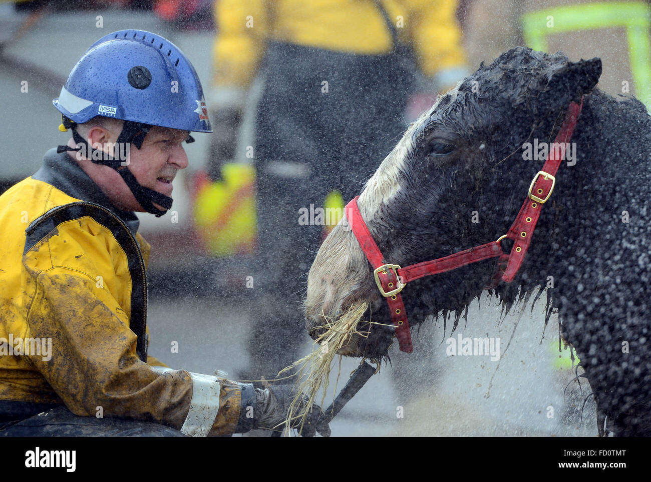 UK, trapped horse rescued from muddy field by vets and fire service, Hailsham, East Sussex - Stock Image